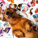 A retriever lying on his photographs taken by his pawrents during special occasions and outings