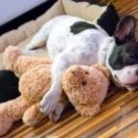 Dog hugging his favorite stuffed friend, napping on his little brown bed with his head and body out of it