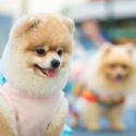 Cute and squishy Pomeranian dog on her pink fashionable clothes