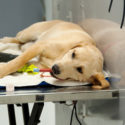 Labrador Lying on a Messy Work Desk