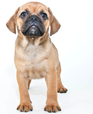 10 Things To Know About Puggles - Hot Dog Blog